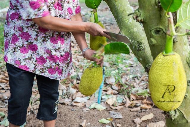 2016-thailand-jackfruit-farm-8-web